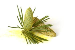 Pollen_pine